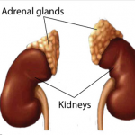 what are hormones made in adrenals well cortisol and dhea and aldosterone